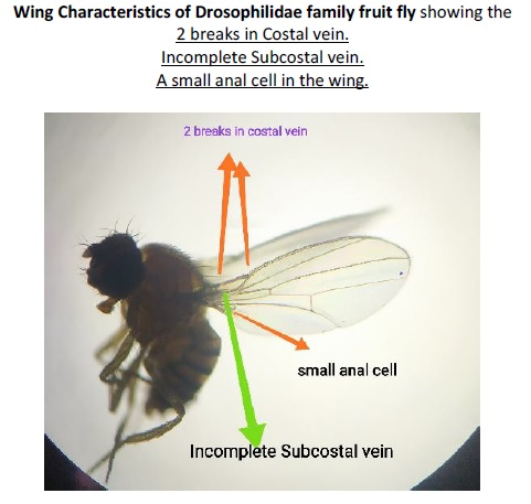 Drosophilidae wing picture