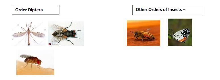 Insecta Diptera