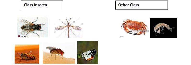 Arthropoda Insecta