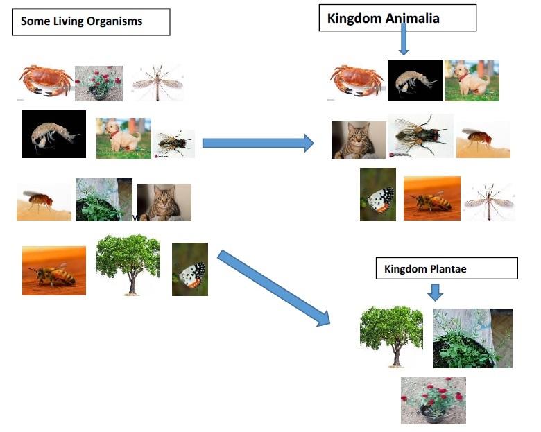 Kingdom Animalia Plantae